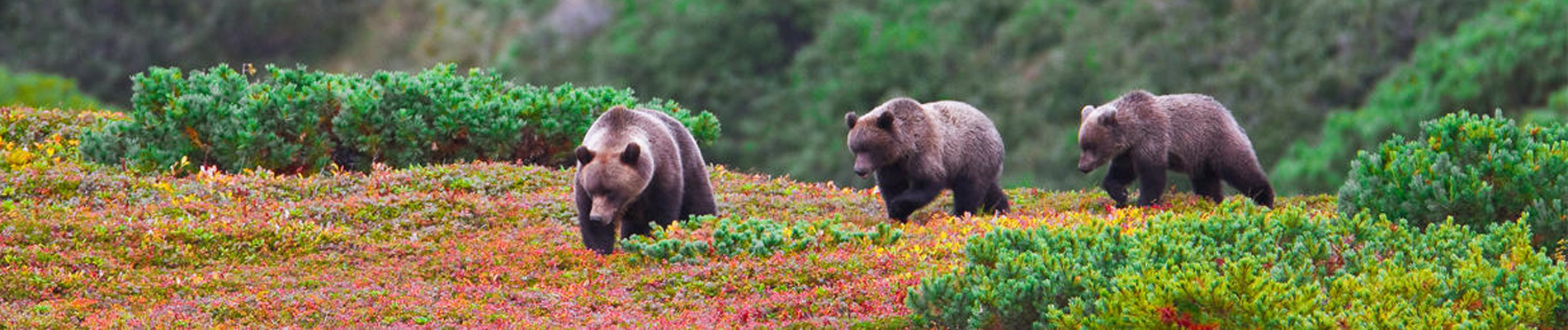 Bears and Volcanoes